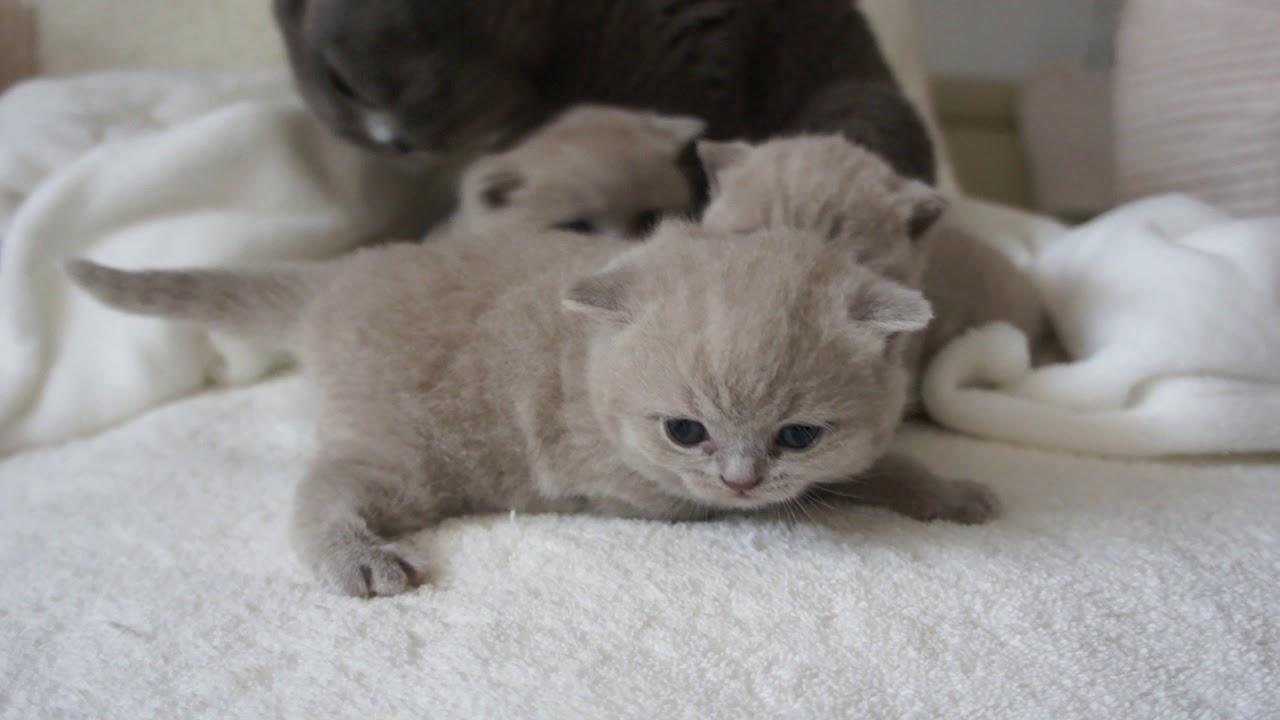 koty brytyjskie liliowe - miot M1 British Shorthair Cattery