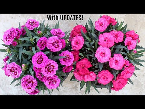 GROWING Carnation and TIPS for MAXIMUM Flowers!