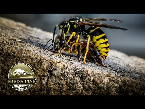 Honey Bees At The Mercy Of Yellow Jacket Wasps In Cold Weather Dry Sugar Feeding