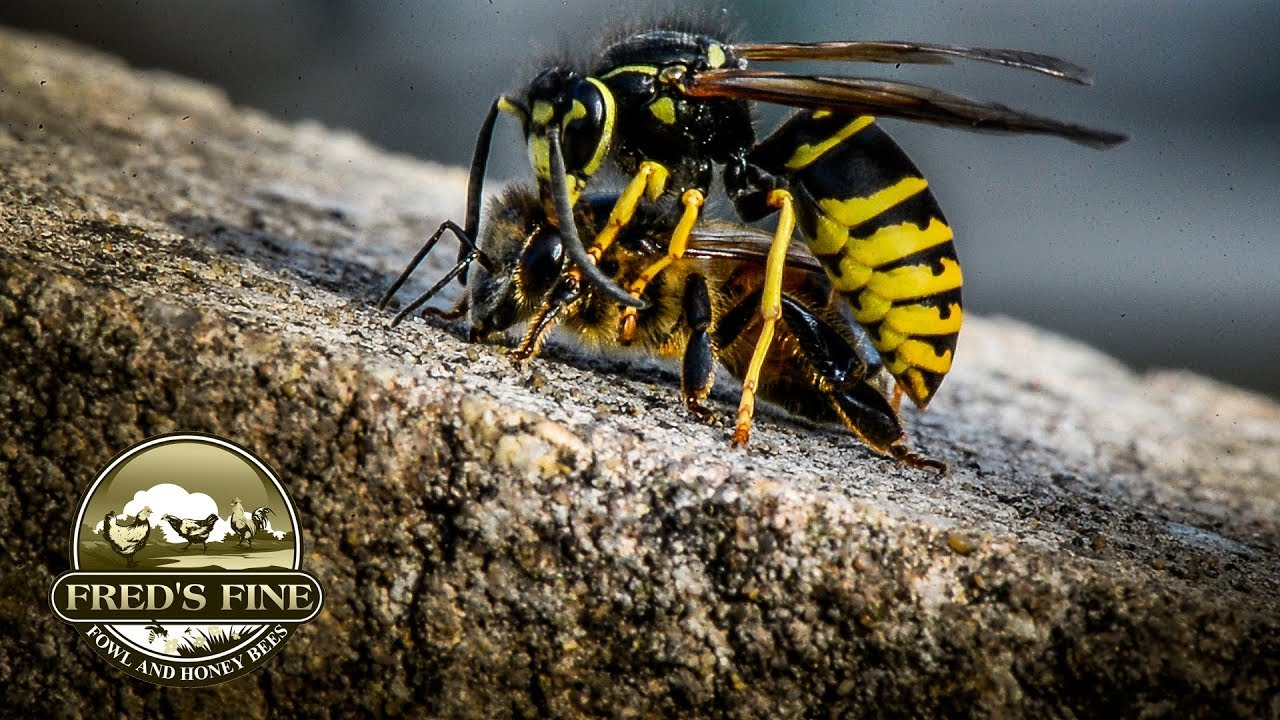 honey bees at the mercy of yellow jacket wasps in cold weather dry