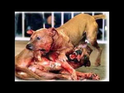 top 10 des chiens les plus dangereux du monde - YouTube