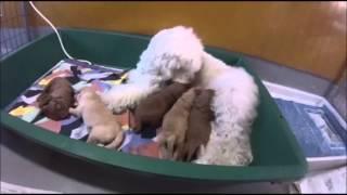 オーストラリアンラブラドゥードル ナナコの2度目の出産をしました.