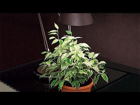Теневыносливые  и  тенелюбивые комнатные растения.