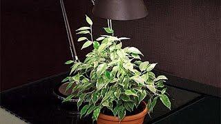 видео Цветущие тенелюбивые комнатные растения