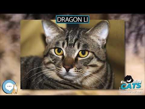 Dragon Li 🐱🦁🐯 EVERYTHING CATS 🐯🦁🐱