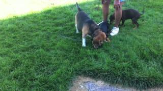 Cute Doberman Puppies Meet Vegas The Old Beagle