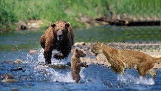 母の熊は彼女のカブをタイガーハンティングから守ります!ジャガー ヒグ...