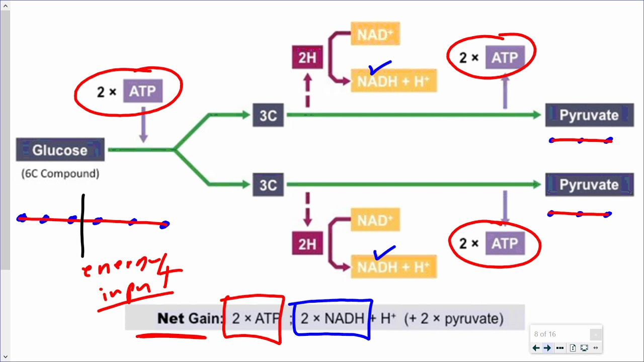 medium resolution of mr walker s biology 20 glycolysis and fermentation reactions