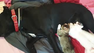 Собака кормит котят собачьим молоком