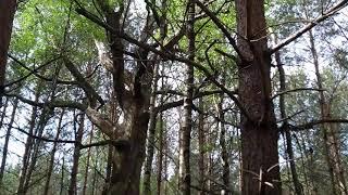R10: stare, martwe drzewo
