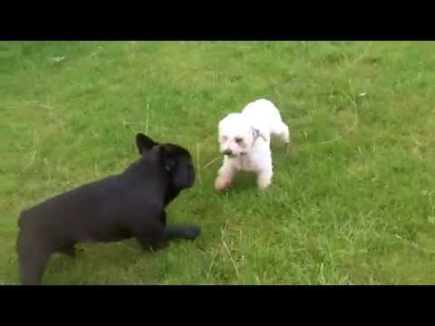 French Bull Dog Arley being told off by Bichon Frise Pepper