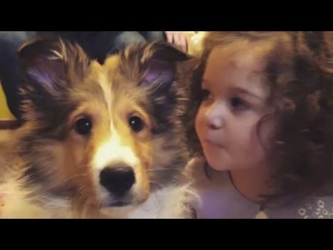 Sheltie from Puppy to Adult