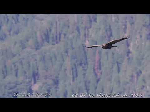 Golden Eagle イヌワシ 中部の山 10月中旬その2 野鳥4K 空屋根FILMS#1116