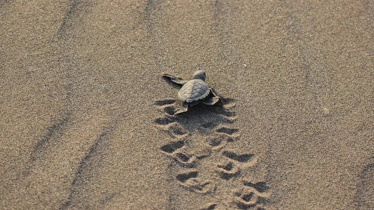 Yavru deniz kaplumbağalarının denize kavuşma mücadelesi görüntülendi
