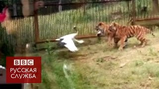 Журавль победил в схватке с тиграми - BBC Russian