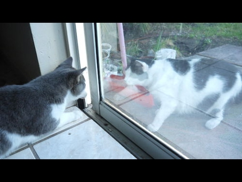 Funny Cats Fighting Through Glass