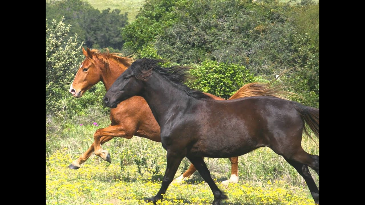 Horses in South Africa.Kaapse Boerperd(chestnut)South ...