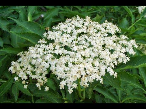Цветы бузины черной. Их польза и противопоказания