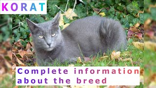 Korat. Pros and Cons, Price, How to choose, Facts, Care, History