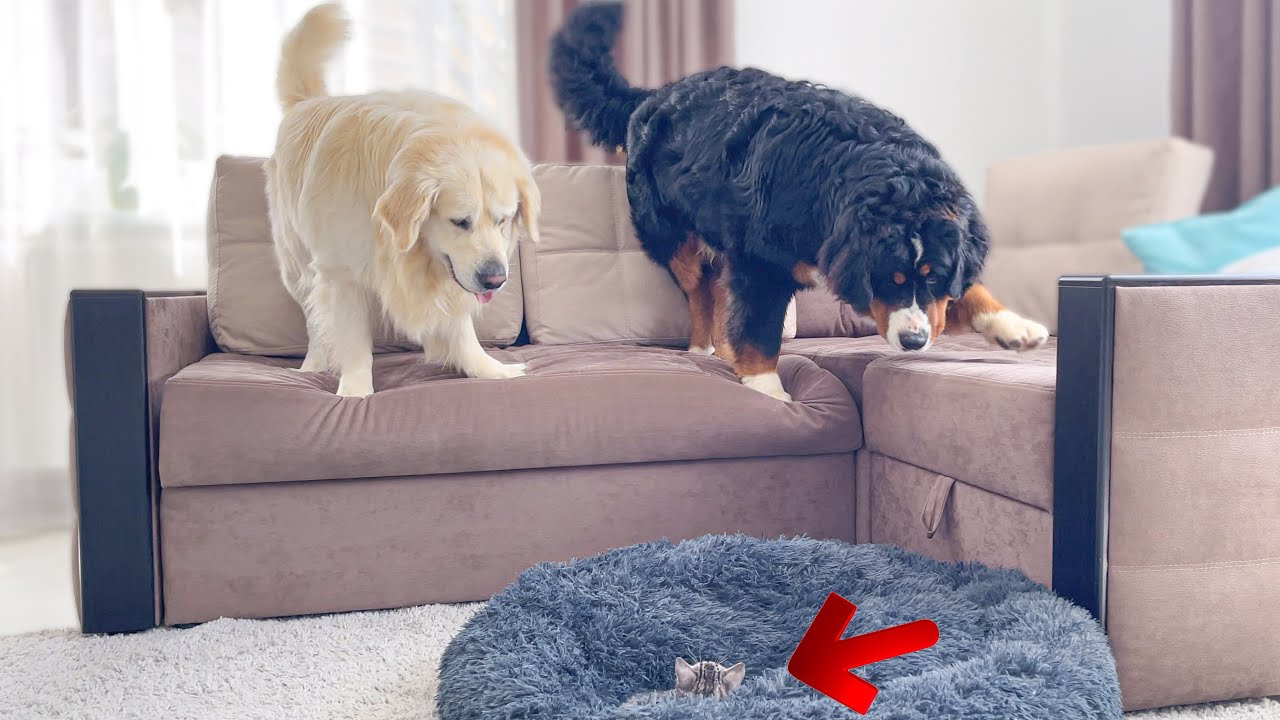 Golden Retriever and Bernese Mountain Dog Shocked by a Kitten occupying dog bed!