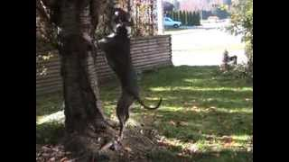 American Pit Bull Terrier Sping Pole Exercise