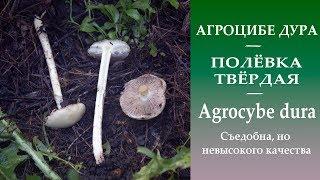 видео Agrocybe, или Полевик