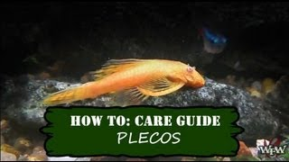 How To Care Guide: Pleco or Plecostomus