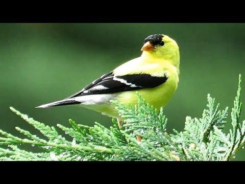 American Goldfinch Call