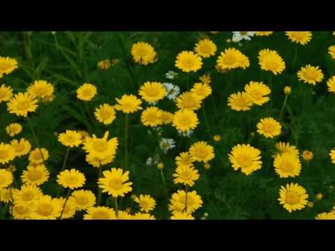 Желтая садовая ромашка ! Почти дикий многолетник !
