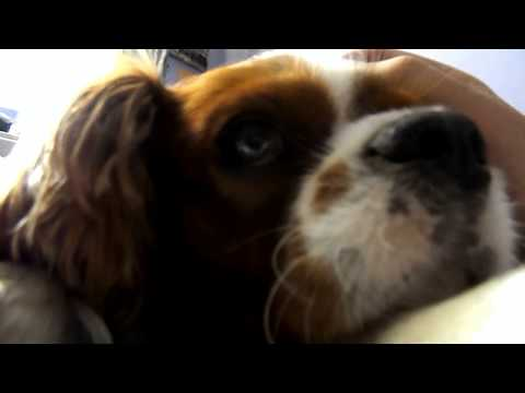 Cavalier King Charles Spaniel - an average Saturday afternoon at home - [Paca]