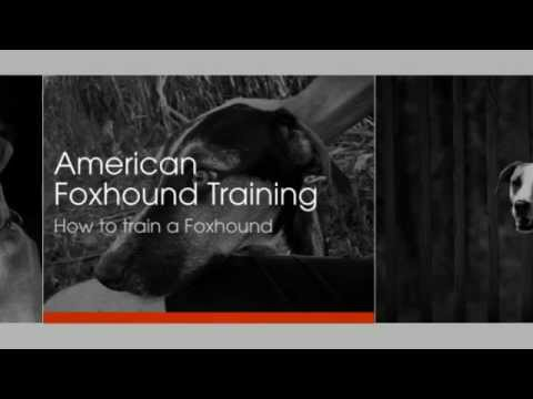 american-foxhound-training