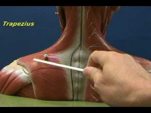 head and shoulder model - trapezius and rhomboids - youtube, Muscles