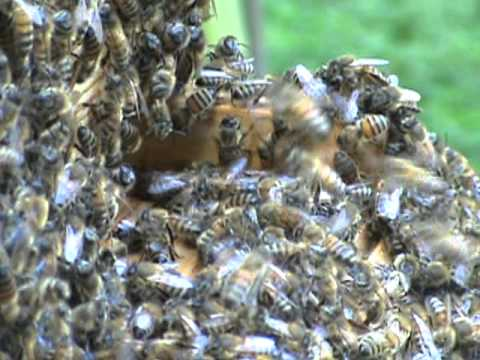 Russian honey bee hive 8-12-2011 - YouTube - photo#26