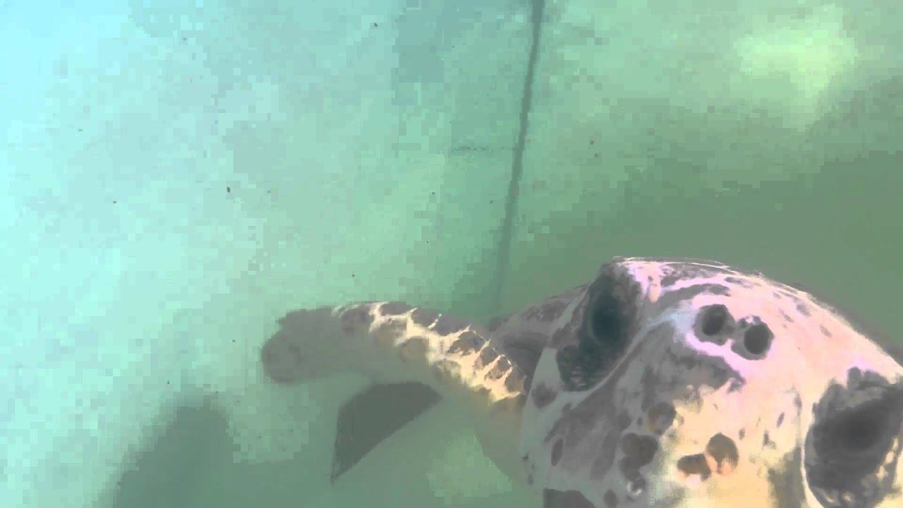 Tracking Baby Sea Turtles Youtube