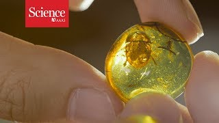 Fossils in amber offer an exquisite view on dinosaur timesand an ethical minefield