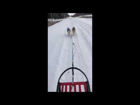 Going for a dogsled ride