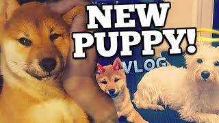 A Shiba Inu Puppy Enters The Fray! (Getting Doggos Vlog) | *16 WEEKS* thumbnail