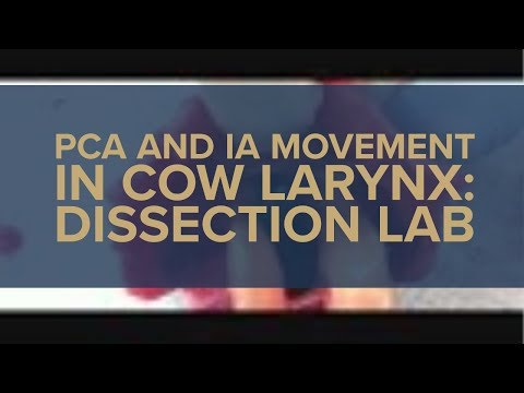 PCA and IA Movement in Cow Larynx