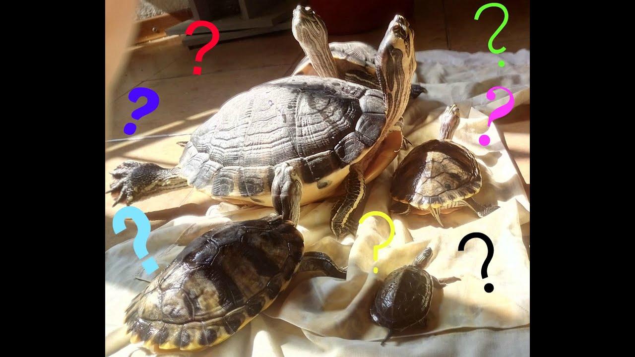 Cosa mangiano le tartarughe d 39 acqua dolce alexis for Tartarughe di acqua dolce