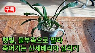 햇빛,물부족으로 말라 죽어가는 산세베리아식물 수경재배로…