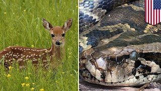 巨大なビルマニシキヘビが子ジカ丸飲み 米 - トモニュース
