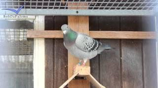 Verreckt – Rutten – Deplae, Belgium [racing Pigeons Loft / Taubenschlag / Palomar] (2015)