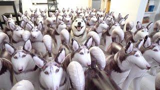 Surprising My Husky With 100 Huskies!