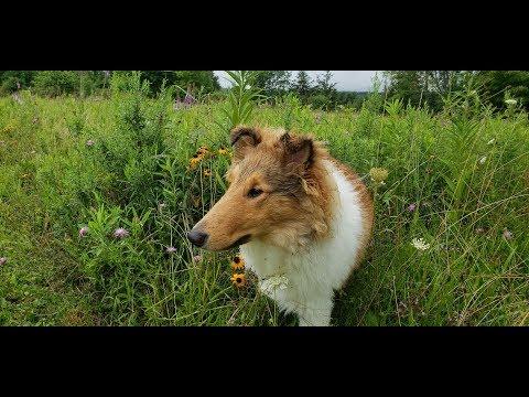 Dog Show Ballston Spa New York - V Log 4-6 Month Beginner Puppy
