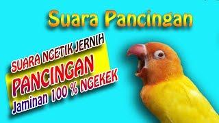 Gambar cover Suara ngetik Pancingan LOVEBIRD Konslet , jamin 100% jadi KUSUMO - lovebird singing kontes