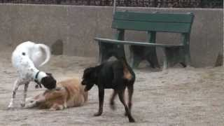 2012-03-12 German Shorthaired Pointer (gsp Dog) Bella @ Nyc Schurz Dog Park Playing W A Golden