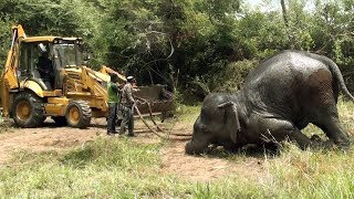 A team of wildlife officers are using a backhoe machine to take the elephant out of the mud pond !