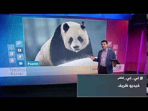 BBC عربية:بي_بي_سي_ترندينغ | فيديو ظريف لحيوان #باندا يتدحرج في #الثلوج