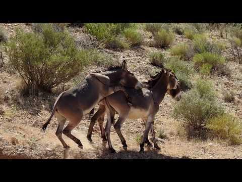 Wild Burros at Spring Mountain Ranch
