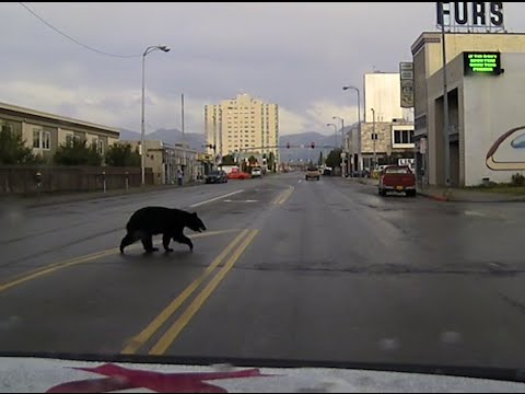 APD Patrols bear in Downtown Anchorage